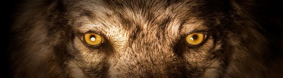 close up of dog's eyes